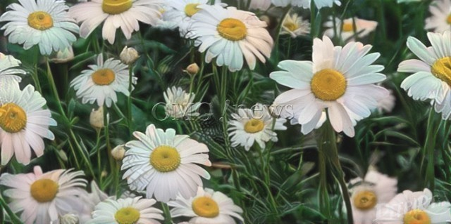 Science Backed Alternative Medicine - Chamomile Tea reduces Anxiety