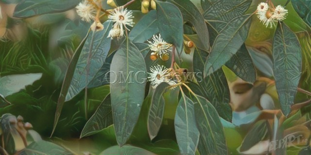 Science Backed Alternative Medicine - Eucalyptus to relieve Sinus Congestion