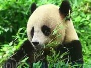 7 Delightful Panda Facts