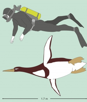 Kumimanu biceae, an ancient penguin, is pictured in comparison to a human diver in this handout artist's reconstruction
