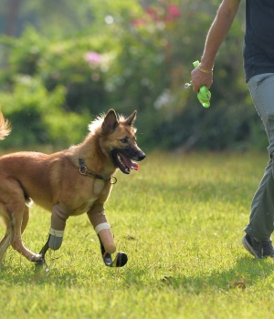 "Amputee dog named ""Cola"" runs using carbon-fiber prosthetic blades made for it by the Soi Dog Foundation in Phuket"