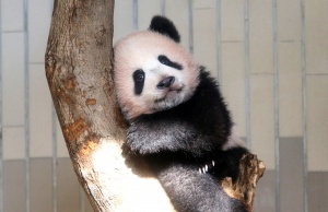 A baby panda Xiang Xiang plays in tree during press a preview ahead of the public debut at Ueno Zoological Gardens in Tokyo