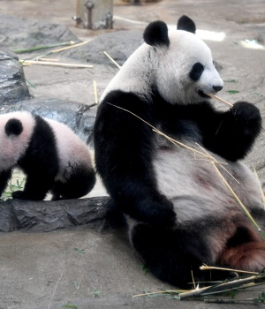 Female giant panda cub Xiang Xiang walks beside her mother Shin Shin at Ueno Zoo in Tokyo