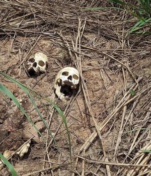 Human skulls suspected to belong to victims of a recent combat between government army and Kamuina Nsapu militia are seen on the roadside in Tshimaiyi near Kananga, the capital of Kasai-central province of the DRC