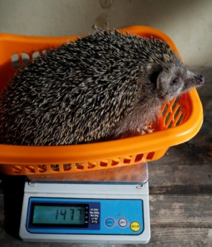 Sherman, the overweight hedgehog, sits on top of a scale displaying the weight of 1477 grams (3.26 lbs) at the Ramat Gan Safari Zoo