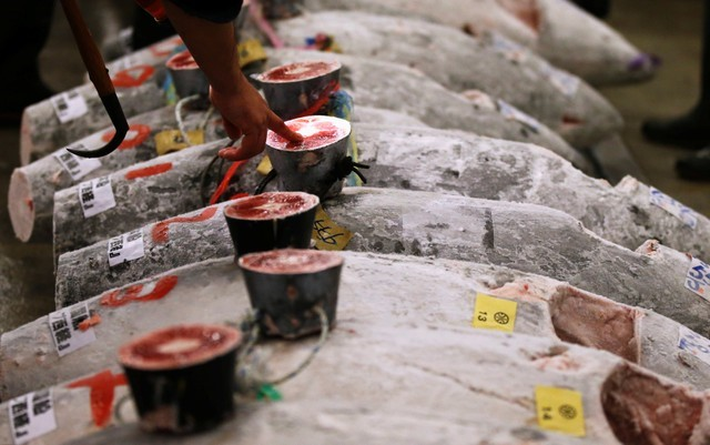A wholesaler checks the quality of frozen tuna displayed at the Tsukiji fish market before the New Year's auction in Tokyo