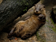 An Asian small-clawed otter, one of the 14 birthed at the Singapore Zoo and Night Safari, is pictured during a media tour to showcase newborn animals at the Singapore Zoo