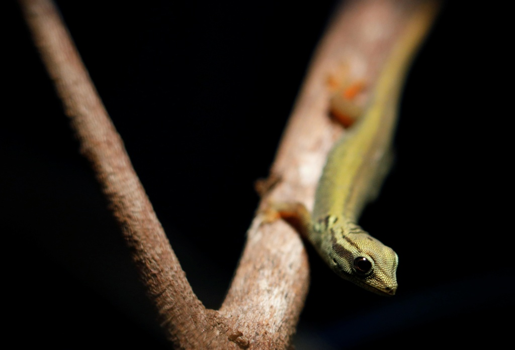 A critically endangered electric blue gecko, which was hatched at the Singapore Zoo, is seen in its enclosure during a media tour to showcase newborn animals at the Singapore Zoo
