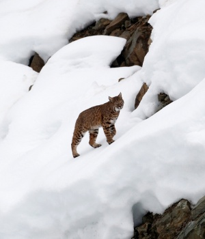 A lynx climbing a hill after crossing the finish area during the first training run for the men's Downhill race of the Vancouver 2010 Winter Olympics in Whistler