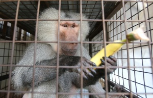 A Hamadryas baboon, named Masoud holds a banana inside a cage in the southern city of Tyre