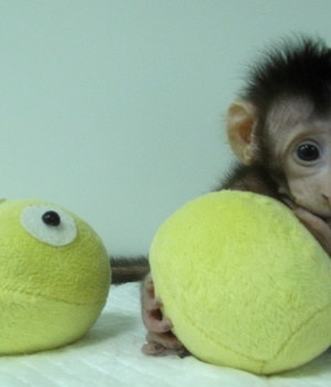 Huah Hua, a cloned long tailed macaque monkey is seen at the Non-Primate facility at the Chinese Academy of Sciences in Shanghai