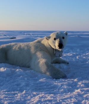 An adult female polar bear lays on the sea ice wearing a GPS satellite video-camera collar in this handout photo
