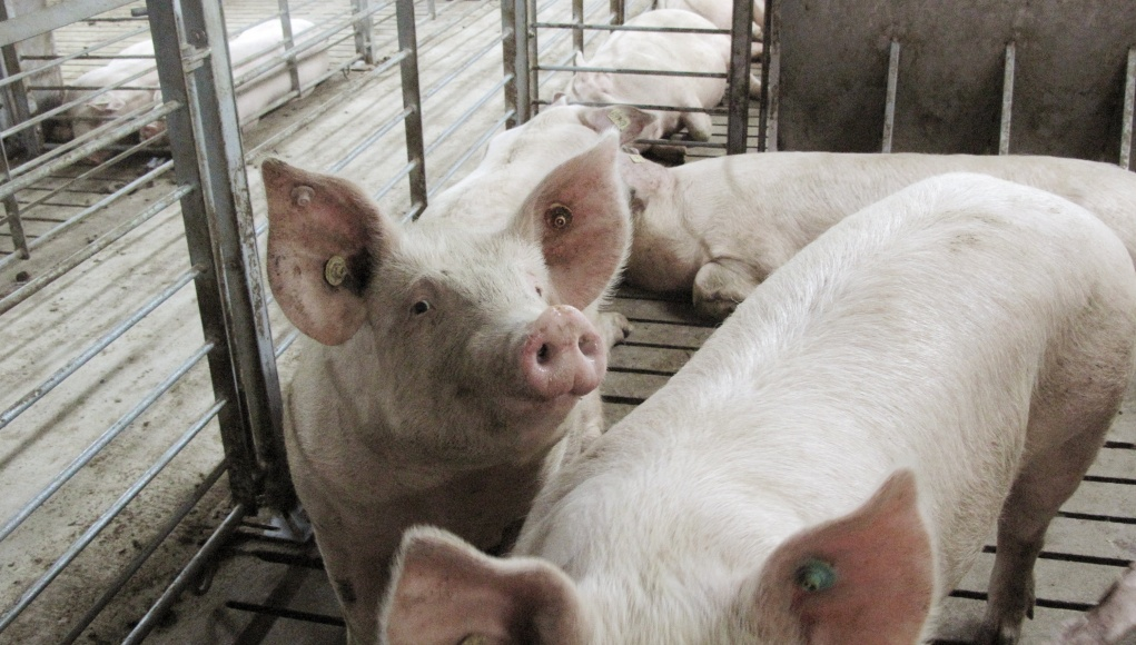 Sows are seen on a large-scale pig farm owned by the Xinguangan company in Wuxuan
