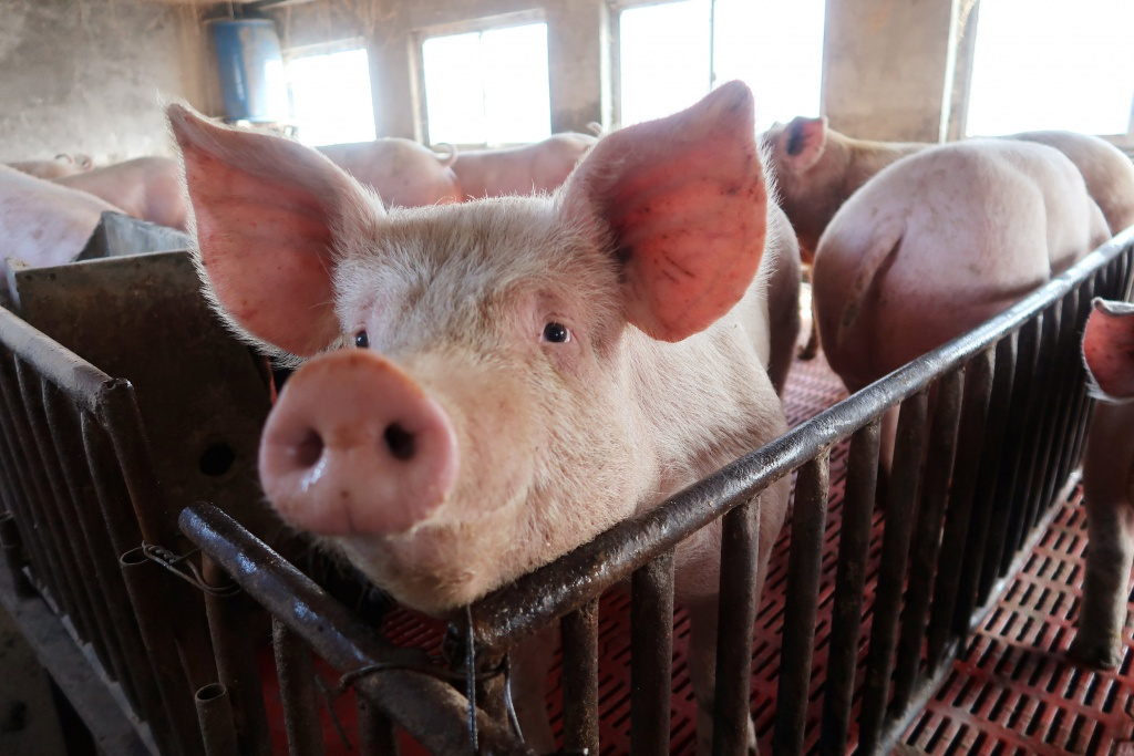 Pigs are seen on a family farm in Xiaoxinzhuang village, Hebei