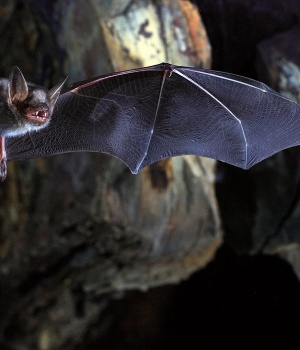 The greater mouse-eared bat (Myotis myotis)