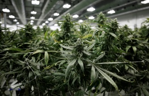 Flowering marijuana plants are pictured at the Canopy Growth Corporation facility in Smiths Falls