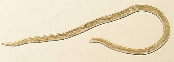 Thelazia gulosa, a type of eye worm appears in a handout photo