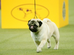 Biggie, a pug walks during judging for best in Toy Group at the 142nd Westminster Kennel Club Dog Show in New York