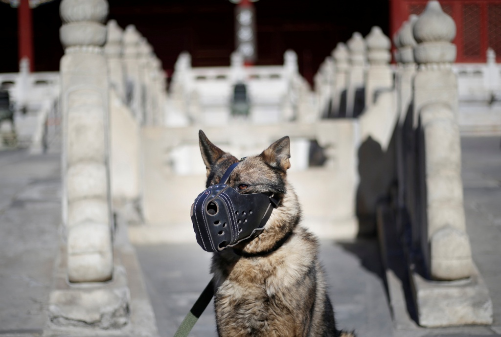 A guard dog waits to attend a daily training session at the Forbidden City in central Beijing