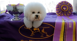 "Flynn, a Bichon Frise, appears at the One World Observatory a day after winning the ""Best in Show"" at the Westminster Kennel Club Dog Show in Manhattan, New York"