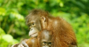 An orangutan hold its baby at the Sepilok Orangutan Rehabilitation Center in the Malaysian state of Sabah on Borneo island