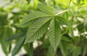 File photo of a thriving marijuana plant is seen at a grow operation in Denver