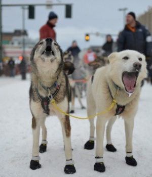 Pettersson's team at the ceremonial start of the Iditarod dog sled race in Anchorage