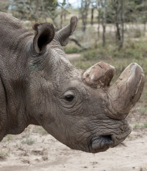 Sudan, the last surviving male northern white rhino, grazes in Laikipia National Park