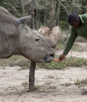 Sudan, the last surviving male northern white rhino, is fed by a warden at the Ol Pejeta Conservancy in Laikipia national park