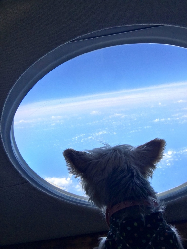 One of Zoe Man's pet dogs looks out of a window onboard a private jet during its Japan trip from Hong Kong