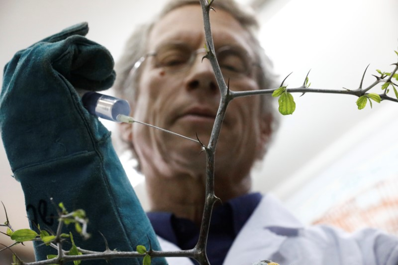 Dr. Shabtai Cohen holds a water syringe to a thorny branch of the Christ's Thorn Jujube tree in his laboratory at the Volcani Agricultural Research Centre in Beit Dagan, Israel