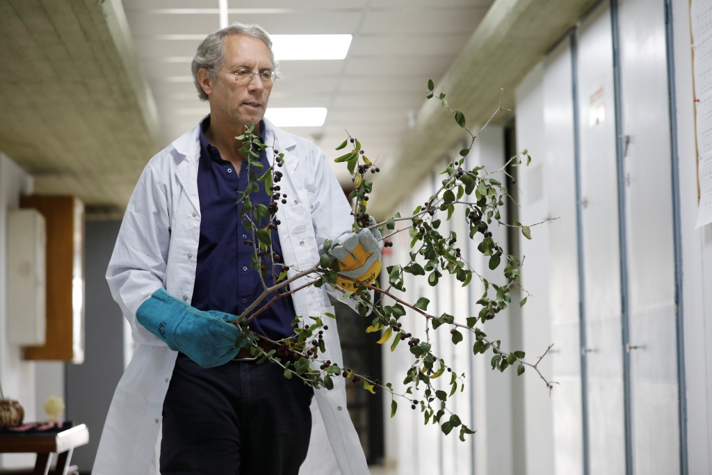 Dr. Shabtai Cohen holds a thorny branch of the Christ's Thorn Jujube tree, in his laboratory at the Volcani Agricultural Research Centre in Beit Dagan, Israel