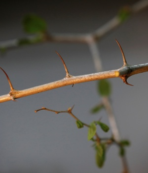 A thorny branch of the Christ's Thorn Jujube tree is seen in the laboratory of Dr. Shabtai Cohen, at the Volcani Agricultural Research Centre in Beit Dagan, Israel