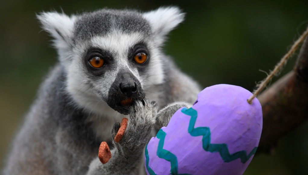 A ring-tailed lemur eats food contained within a papier mache egg at London Zoo in London, Britain