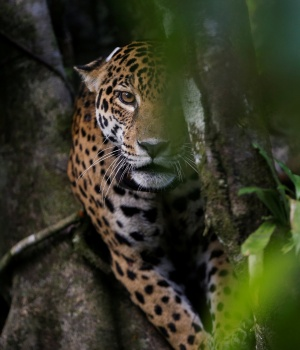 The Wider Image: Brazil jaguars find safe haven in rainforest trees