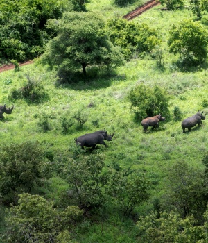 Rhinos are tracked from a Kenya Wildlife Service helicopter during the launch of a rhino ear notching exercise and the inauguration of the extended Rhino Sanctuary at Meru National Park