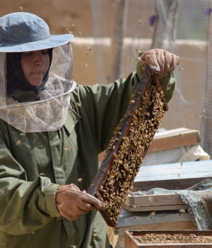 Beekeeper Frozan checks a beehive in the Marmul district of Balkh province, Afghanistan