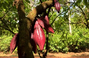 A cocoa tree bearing fruit is seen in a plantation in a farm in Medicilandia