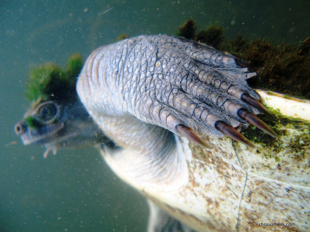 A Mary River Turtle swims in Queensland, Australia