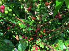 A coffee tree is seen in a farm in Sao Desiderio