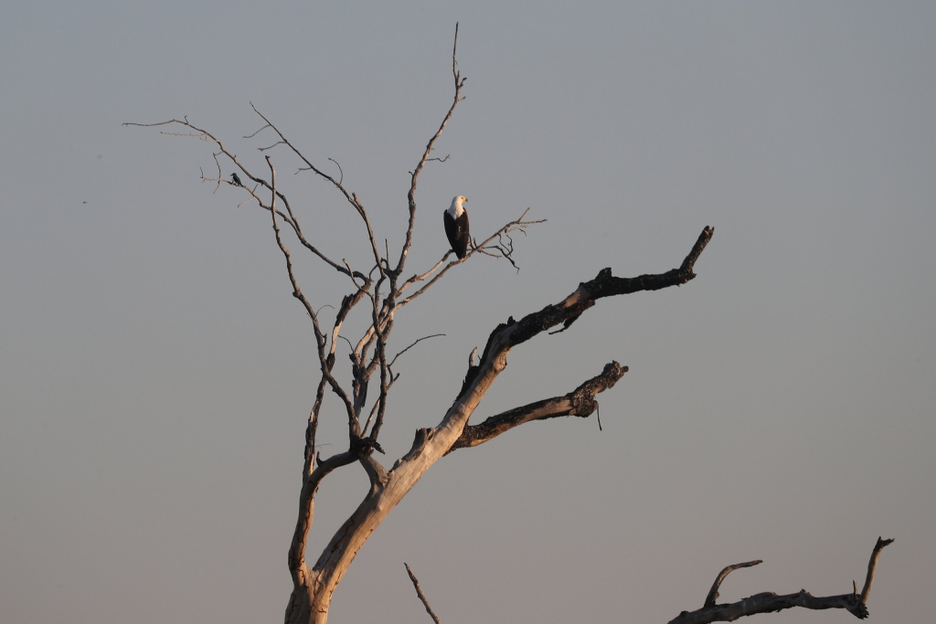 A fish eagle sits above waters flowing into the Okavango Delta