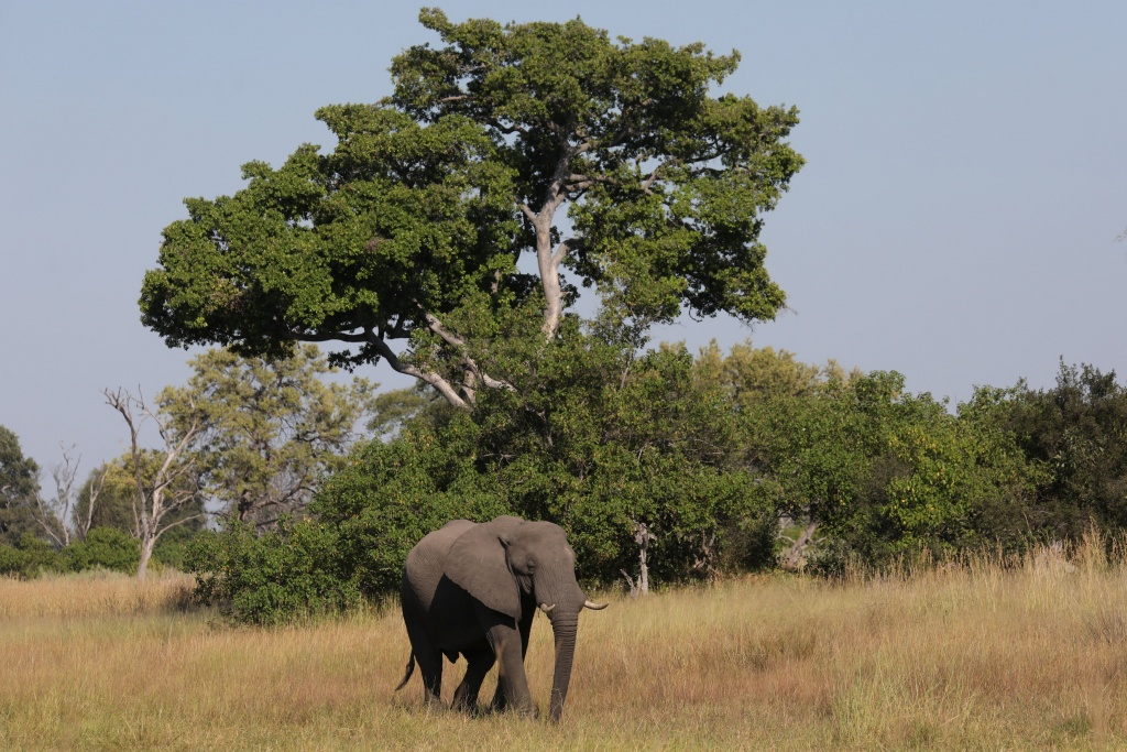 A young bull elephant is seen in the Okavango Delta