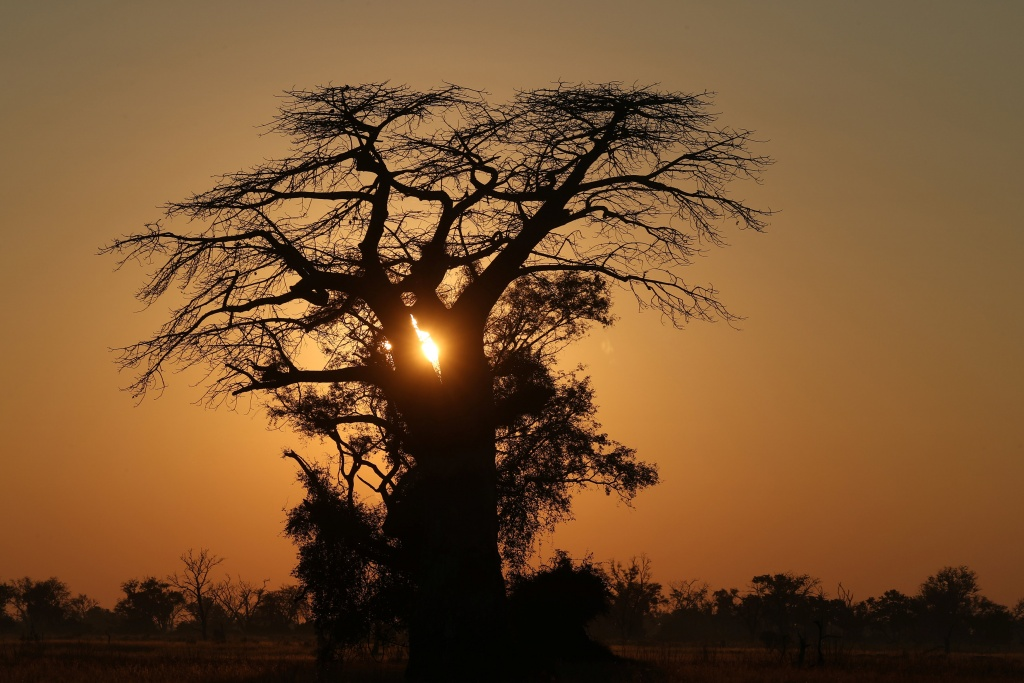 The sun rises behind a Baobab tree in the Okavango Delta
