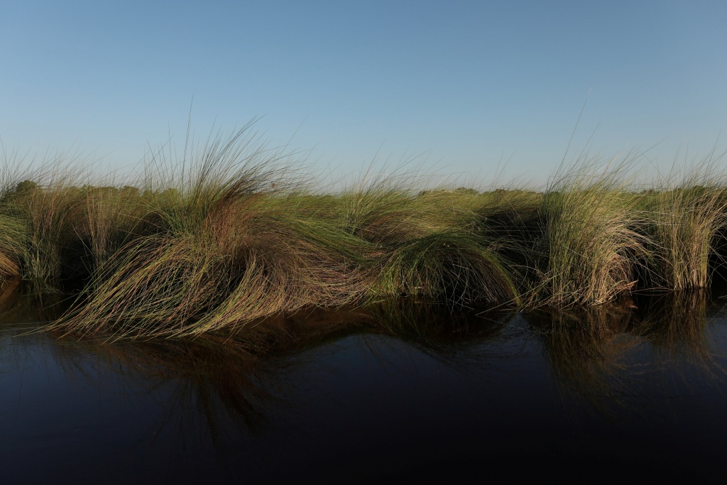 Reeds sit as waters begin to fill the Okavango Delta