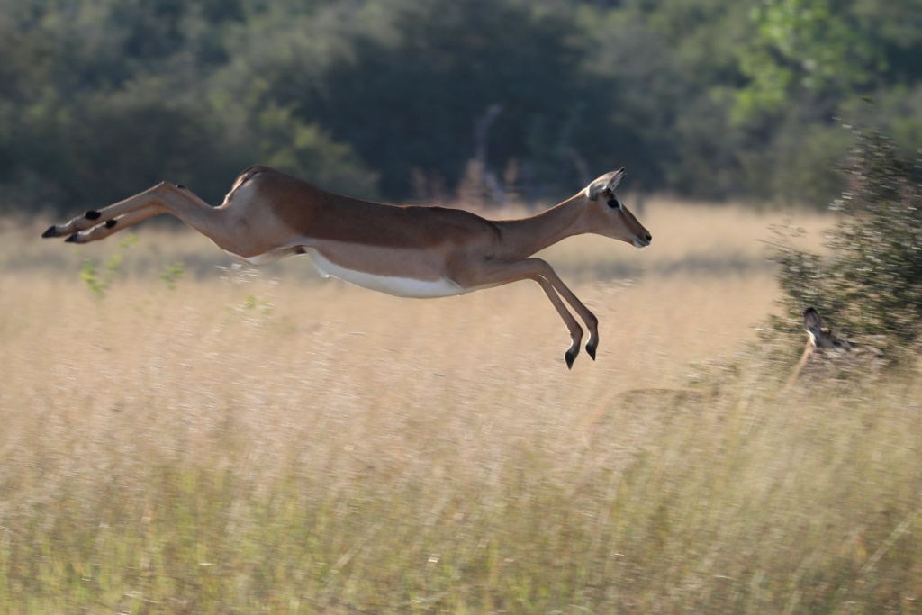 A startled antelope jumps over grassland in the Okavango Delta
