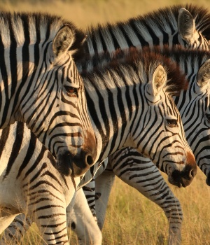 A herd of zebras is seen in the Okavango Delta