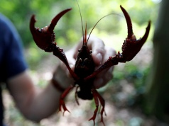 A red swamp crayfish (Procambarus clarkii) is hold by Charles Oliver Coleman of the Leibniz Institute for Research on Evolution and Biodiversity, after he fished it from a pond at Tiergarten park in Berlin