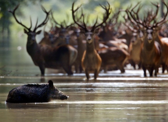 WILD BOAR WALKS PAST DEERS IN THE FLOODED FOREST OF THE DANUBE-DRAVANATIONAL PARK.