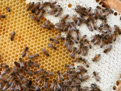 Bees are seen on frames of a beehive in Denee