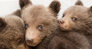 A picture shows three bear cubs who were found by the Bulgarian authorities in the wild and rescued at the Dancing Bears Park near Belitsa